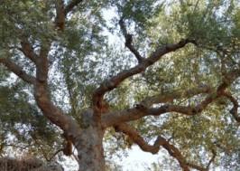NEW OLIVES TREES