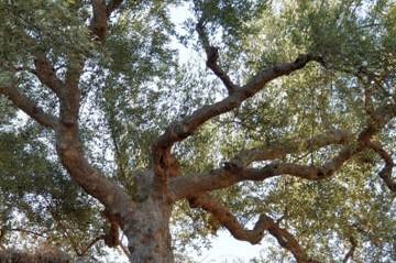 Olive tree general information