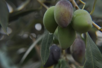 Traditional  Kalamata Olives