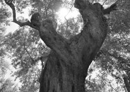 olive_tree_oliveoilkalamata