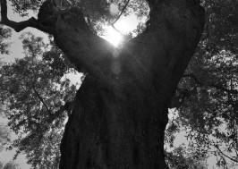 olive_tree_oliveoilkalamata_koronida