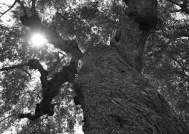 olive_tree_oliveoilkalamata5