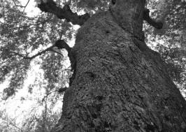 olive_tree_oliveoilkalamata6