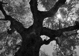 olive_tree_oliveoilkalamata7